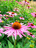 Cone flower. In field, in the springtime Royalty Free Stock Photography