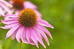 Cone-flower Stock Images