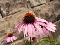 Cone flower. Purple cone flower/echinacea growing against a stone wall royalty free stock image