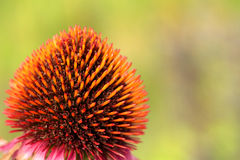 Cone flower Royalty Free Stock Photography