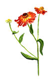 Cone flower. Watercolor image of red cone flower with stem Stock Photos
