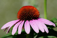 Cone flower. Macro shot of a purple cone flower with a red center stock image