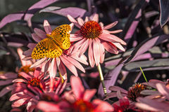 Cone Flower with Butterfly. Butterfly on Cone Flower in the Springtime Royalty Free Stock Photo