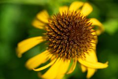 Cone flower close up in the summer royalty free stock image