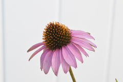 Cone flower closeup Stock Photo