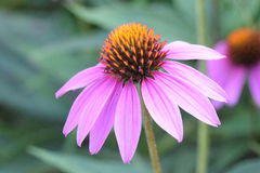 Cone flower closeup Royalty Free Stock Photo