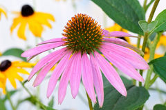 Cone flower closeup Royalty Free Stock Images