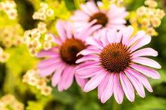 Cone flower, Echinacea purpurea Royalty Free Stock Photo