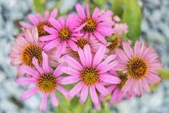 Cone flower, Echinacea purpurea Royalty Free Stock Image
