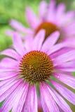 Cone flower, Echinacea purpurea Royalty Free Stock Photos