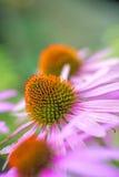 Cone flower, Echinacea purpurea Royalty Free Stock Photography