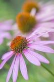 Cone flower, Echinacea purpurea Stock Images
