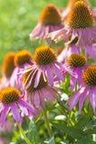 Cone flower, Echinacea purpurea Stock Photo
