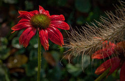 Cone Flower with Morning Dew Stock Image