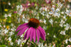Cone Flower Stock Image