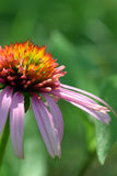 Cone Flower Royalty Free Stock Photos