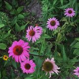cone flower royalty free stock photo