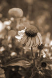 Cone Flower Sepia Tone. Sepia Tone Cone Flower in the Garden Royalty Free Stock Images