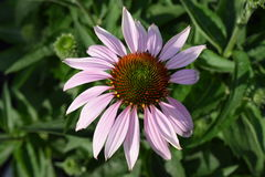 Cone flower. Single cone flower with purple petals Stock Photos