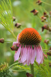 Cone flower vertical with flowers in back Royalty Free Stock Photo