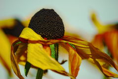 Cone flower dried by the summer sun and wind Stock Photography