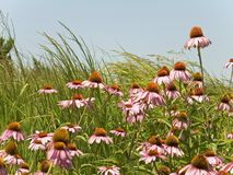 Cone Flowers royalty free stock photography