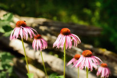 Cone Flowers Along a Fence Royalty Free Stock Image