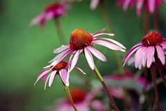 Cone flowers from cape cod provincetown massetuchetts Royalty Free Stock Images