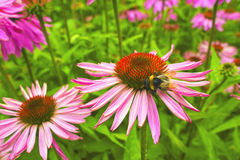 Cone flowers in a garden. Stock Image