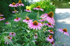 Cone flowers Royalty Free Stock Photo