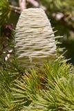 Cone fêmea do cedro himalayan Imagem de Stock Royalty Free