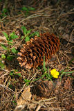 Cone on the forest floor. With flower Stock Photo