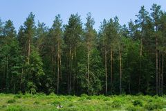 Cone forest panorama Royalty Free Stock Photos
