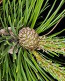 Cone fresco do pinho Imagens de Stock