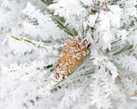 Cone on the frosty branch Stock Image