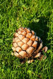 Cone grande do pinho Foto de Stock Royalty Free
