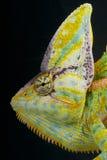 Cone-head chameleon / Chamaeleo calyptratus Stock Photography