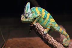 Cone-head chameleon Stock Image