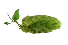 Cone of hop Stock Photography