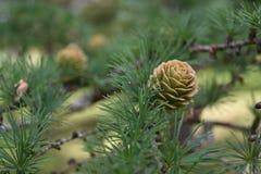 Cone juvenil do pinho de montanha com resina do gotejamento imagens de stock royalty free