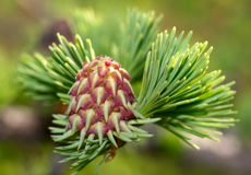 Cone of larch Stock Photo
