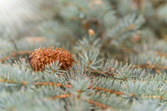 Cone lies on the branches of the blue pine, background Stock Photo
