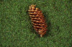 Cone on needles. Fir cone on the needles background royalty free stock photos