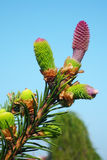 Cone of Norway spruce Stock Photo