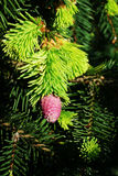 Cone of Norway spruce Royalty Free Stock Photos