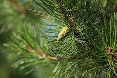 Cone novo verde do pinho Imagens de Stock Royalty Free