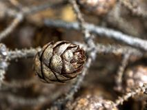 Cone pequeno do pinho em ramos Fotos de Stock Royalty Free