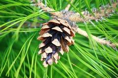 Cone pequeno na árvore Fotografia de Stock