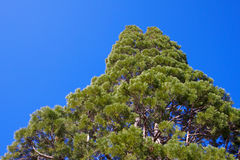 Cone Pine Royalty Free Stock Image