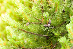 Cone on pine Stock Photos